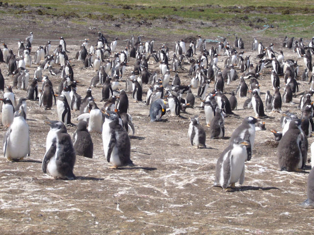 Pinguin Falkland Islands